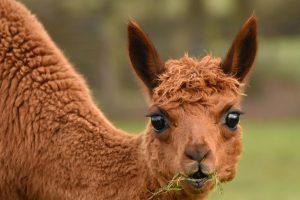 imgID137434716.jpg.gallery Alpacas. By Cathy Anning